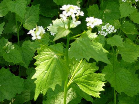 Würzige Knoblauchsrauke  mit Blüten