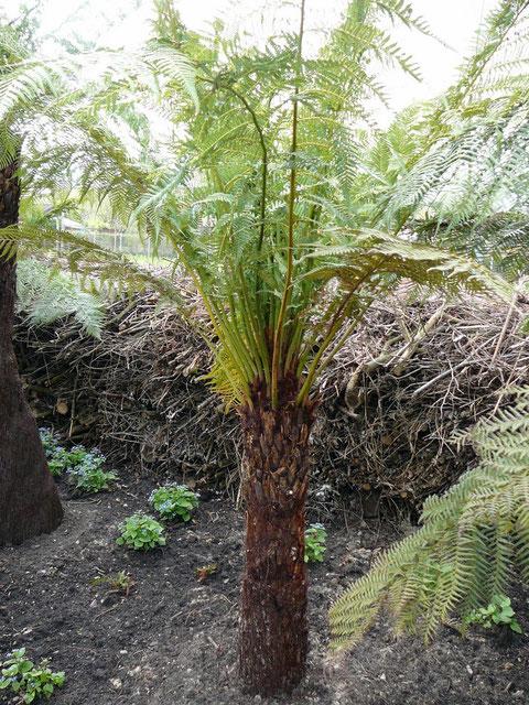 Diese Baumfarne hatten es sehr schwer, mit unseren Klima-Verhältnissen klar zu kommen