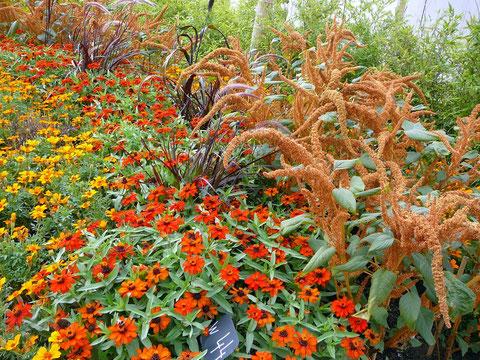 Bidens, Zinnien,Hirse,Gräser und Amaranth in Sonnen-Farben