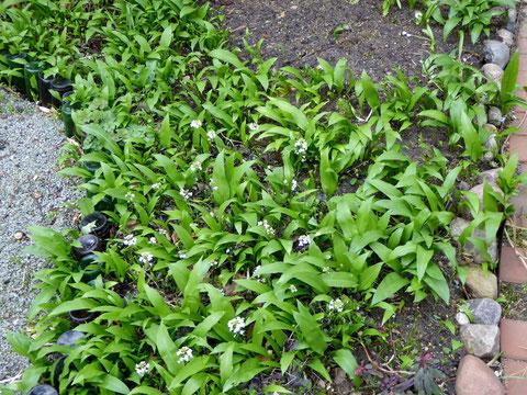 Der Bärlauch wächst an den unterschiedlichen Standorten unterschiedlich schnell - unser Vorteil!