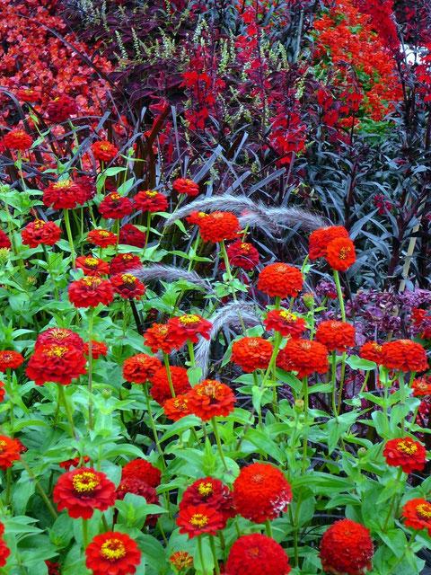 Blutrote Pflanzen und Gräser in den Container-Beeten