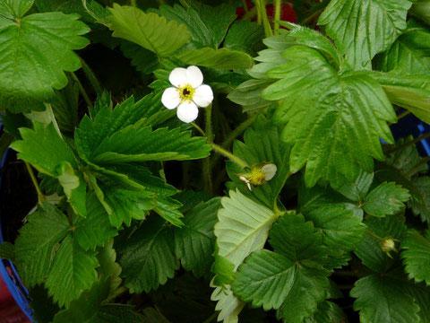 Erdbeerblätter, die jungen Triebe