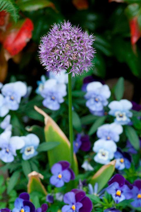 Zierlauch (Allium giganteum) + Hornveilchen (Viola cornuta)