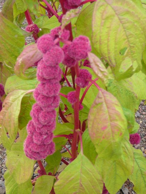Die verschiedenen Amaranth-Sorten, die in diesem Garten sind.