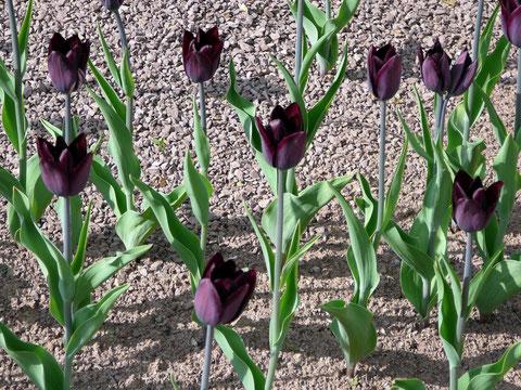 Dunkle Tulpen in roter Lava-Erde - ein spannender Kontrast!