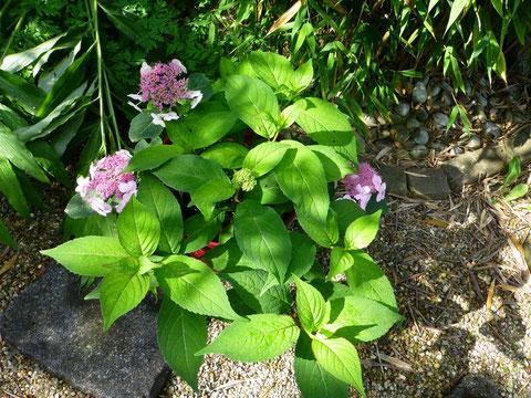 Die Blätter der Tee-Hortensie werden nicht frisch genutzt