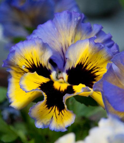 Stiefmütterchen (Viola-Wittrockiana-Hybr.)