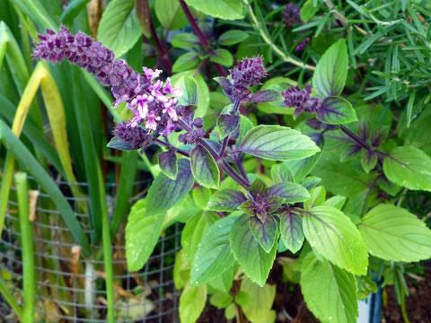 Tolle Duftvarianten beim Basilikum-Tee, besonders in Mischungen