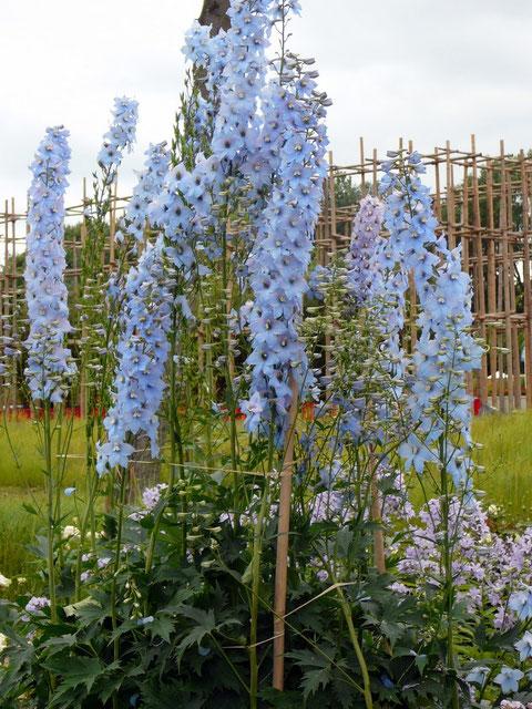 Blauer Rittersporn bricht die strenge Baustruktur auf