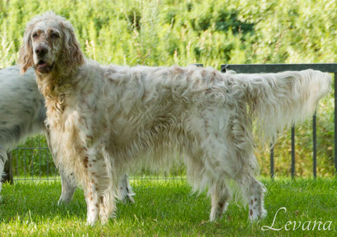 English Setter Ch. Levana Miss Hollywood