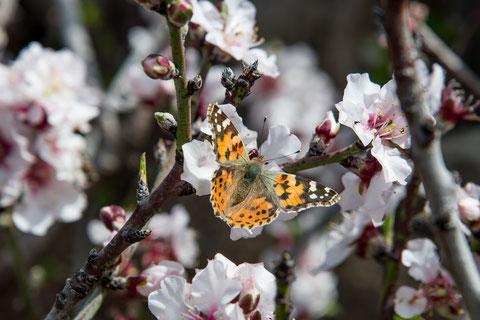 Distelfalter auf Mandelblüte