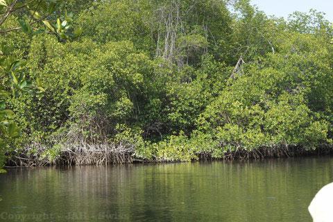 Elisabeth Bay, Isabela, Mangroven, Mangrovenwald Meeresschildkröten