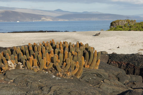 Lava Kaktus auf Fernadina - Trockenzone