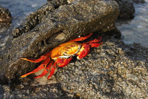 ... Rote Klippenkrabbe und geht nur bei Gefahr ins Wasser. Sie ist auf der schwarzen Lava kaum zu übersehen. Der Nachwuchs ist aber zunächst noch schwarz und schützt sich so vor den fliegenden Feinden