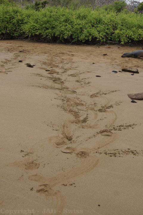 Spur eines Seelöwen