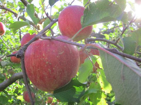 ↑大きく立派に育ったりんごです