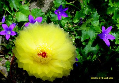 Notocactus ottonis und Campanula portenschlagiana - auf Deutsch: Kaktusblüte und Glockenblumen