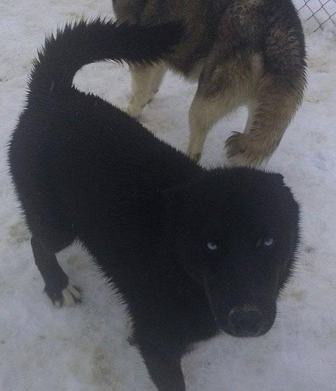 solid black siberian husky solid black husky mostly black husky mostly black siberian husky