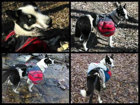 piebald siberian husky pie bald siberian husky pi bald siberian husky pinto siberian husky working pack dog title ruffwear dog pack