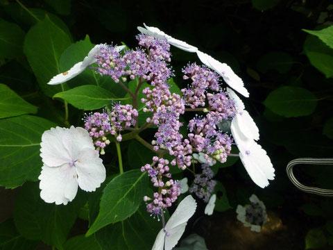 今が見頃の紫陽花(御霊神社)
