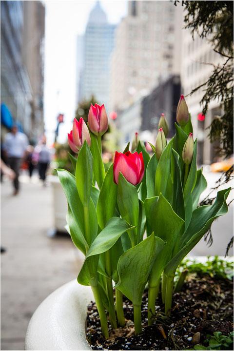 an vielen Stellen gab es bepflanzte Kübel mit Tulpen usw. zu sehen  gesehen....