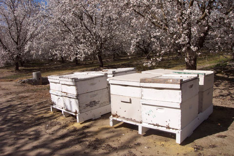 Bees in Almond orchards