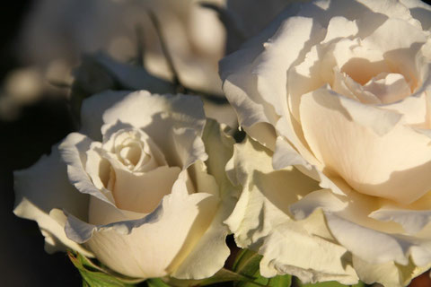 Englische Rosen / English roses