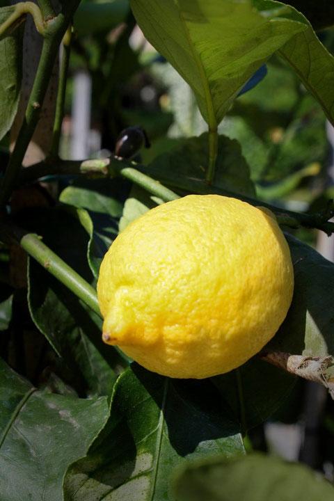 Zitronenbaum / Lemontree