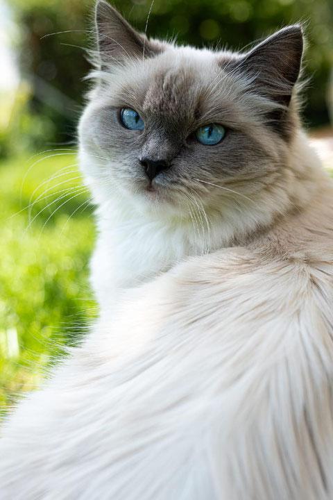 Kajika Rags' Xara * 11.9.2020, blue mitted lebt mit einer Ragdollfreundin bei der lieben Gabi in der Schweiz