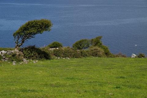 アイルランド 木