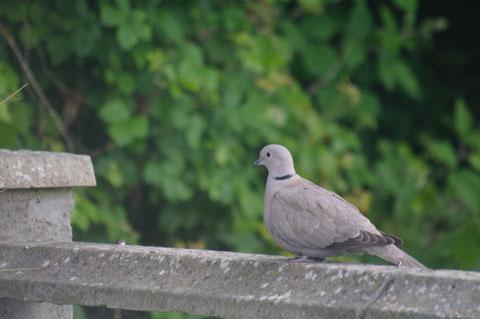 アイルランド 野鳥