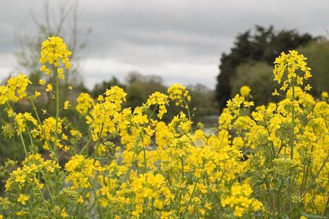 アイルランド 菜の花