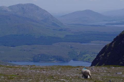 キラリー・ハーバー アイルランド フィヨルド 羊