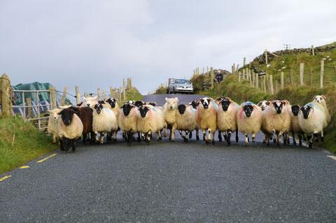 アイルランド 羊 ディングル半島