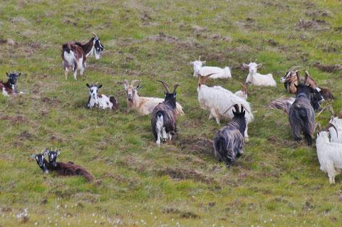 アイルランド 山羊