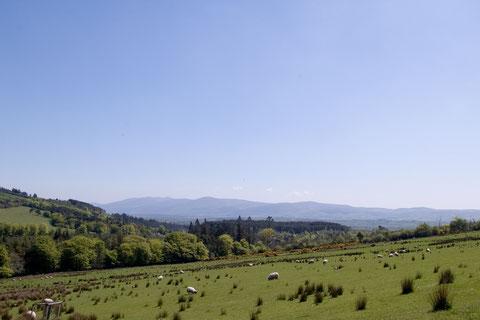 アイルランドの羊