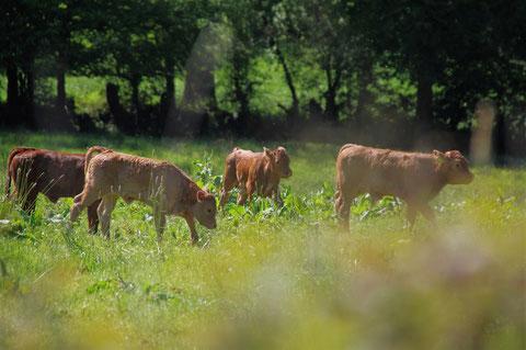 アイルランド 牛