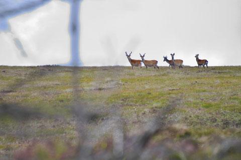 アイルランド - 鹿 - 野生動物