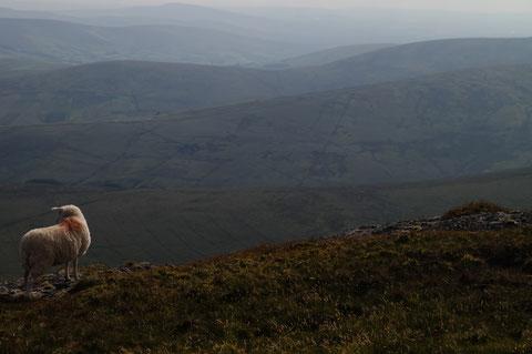 アイルランド 羊