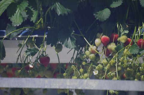 アイルランド イチゴ