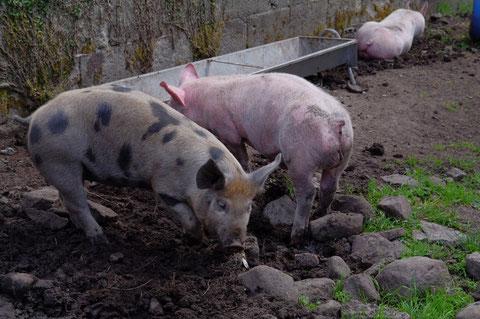 アイルランド 豚肉