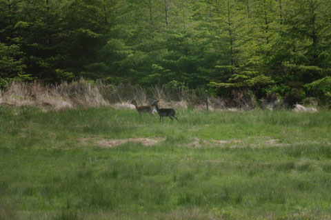 アイルランド 鹿