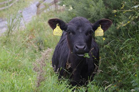 アイルランド・牛