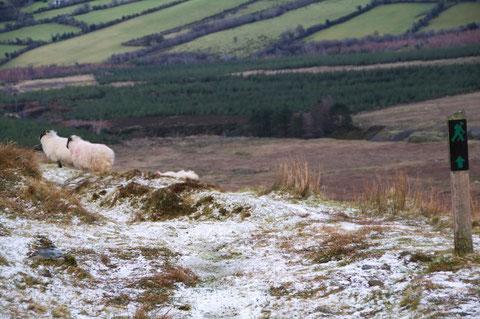 アイルランド・羊