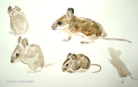 mulot sylvestre aquarelle Jean Chevallier