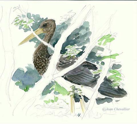 cigogne noire ciconia nigra aquarelle Jean Chevallier