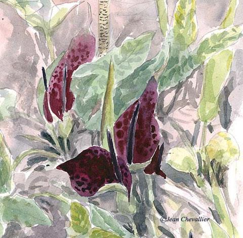 arum, aquarelle Jean Chevallier