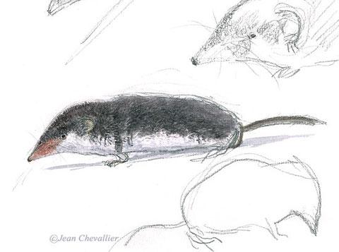 crocidura leucodon aquarelle Jean Chevallier