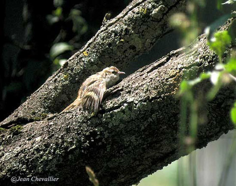 basking tree creeper