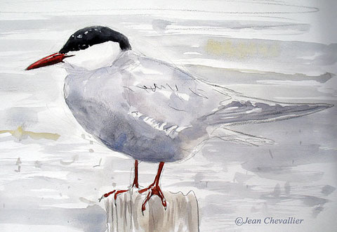 whiskered tern , Jean Chevallier